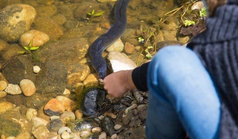 Wallowing Eels